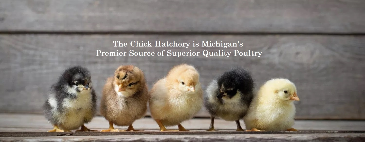 Pages – The Chick Hatchery